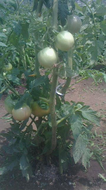トマト少し色づく