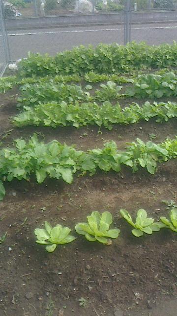 秋野菜は順調に生育